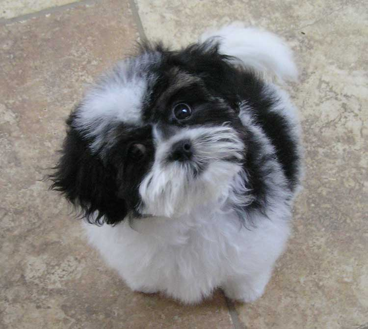 Black and White Teddy Bear Puppy