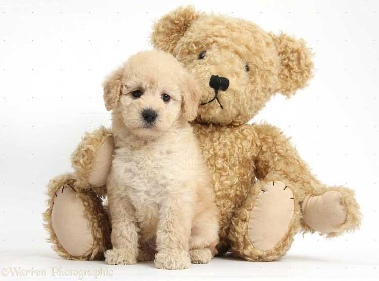Goldendoodle-puppy-Teddy-bear-dog