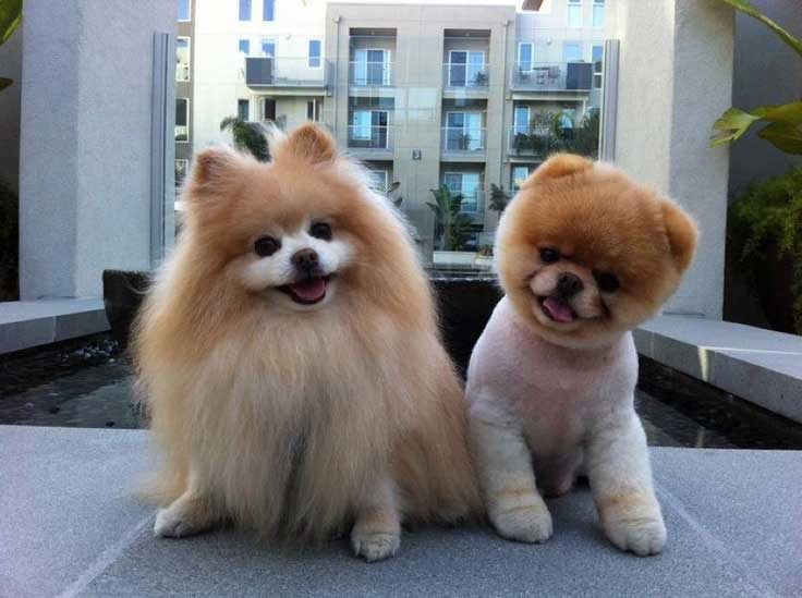 Breeds Teddy Bear Puppies And Dogs