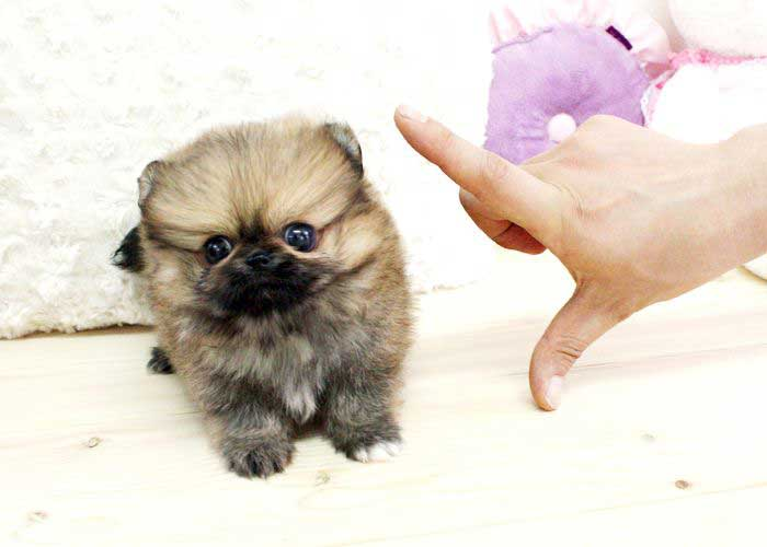 Teacup Teddy Bear Puppies What You Need To Know Teddy Bear