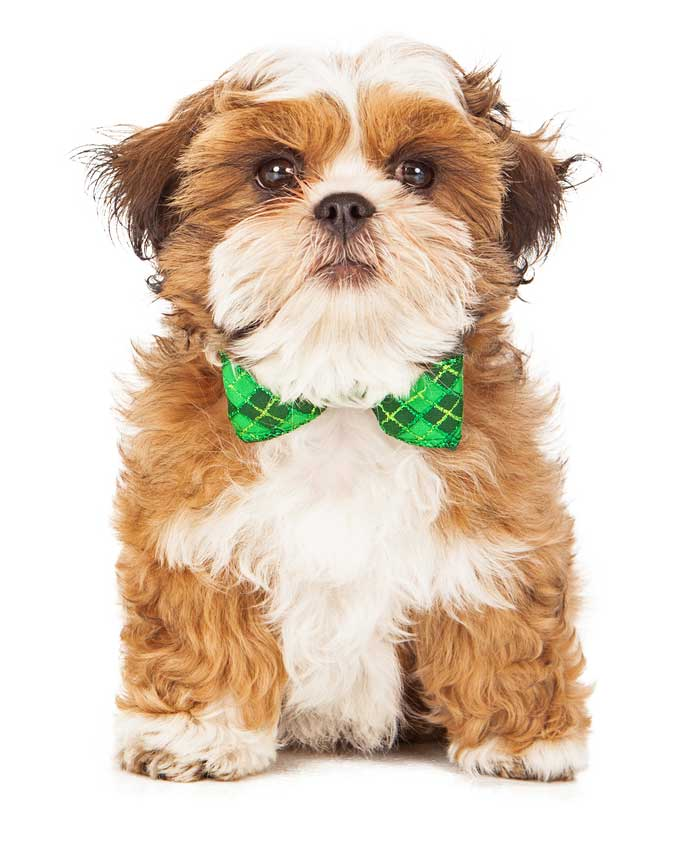 Breeds : Teddy Bear Puppies and Dogs