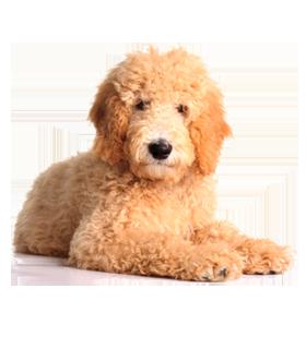 Teddy Bear Puppy Breeds Different Breeds Of Teddy Bear Dog