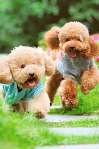 real-teddy-bear-dogs-coming-when-called