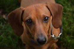 Do Dachshunds Make Good Family Pets?