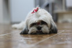 Is the Shih Tzu a Good Pet for Your Kids?