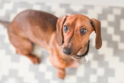 Types of Dachshund Dogs