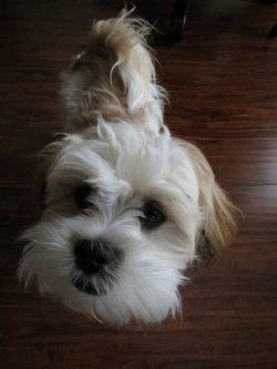 image of zuchon puppy from teddybearpuppydogs.com
