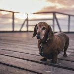 Dealing with Dog Obesity